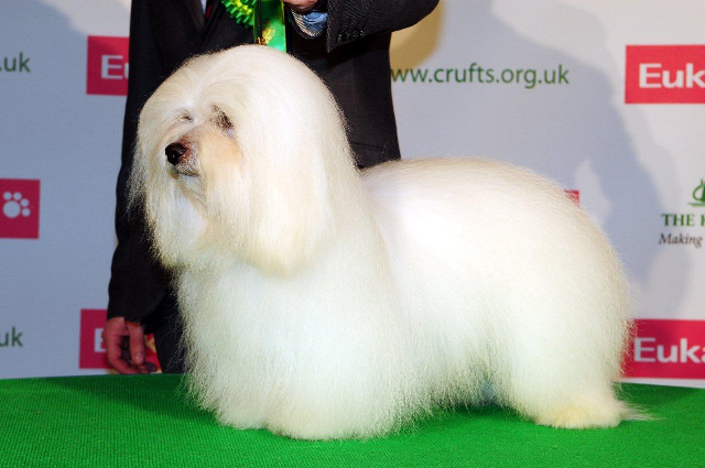 Diwal - Best Male & Best of Breed at CRUFTS 2013