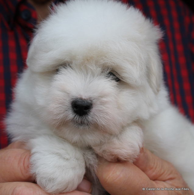 Petit chien a vendre quebec lespac
